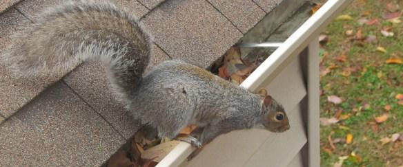 squirrel in attic