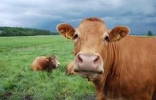 ЕУ: Повуците заштитне мере на увоз млека и свињетине из ЕУ