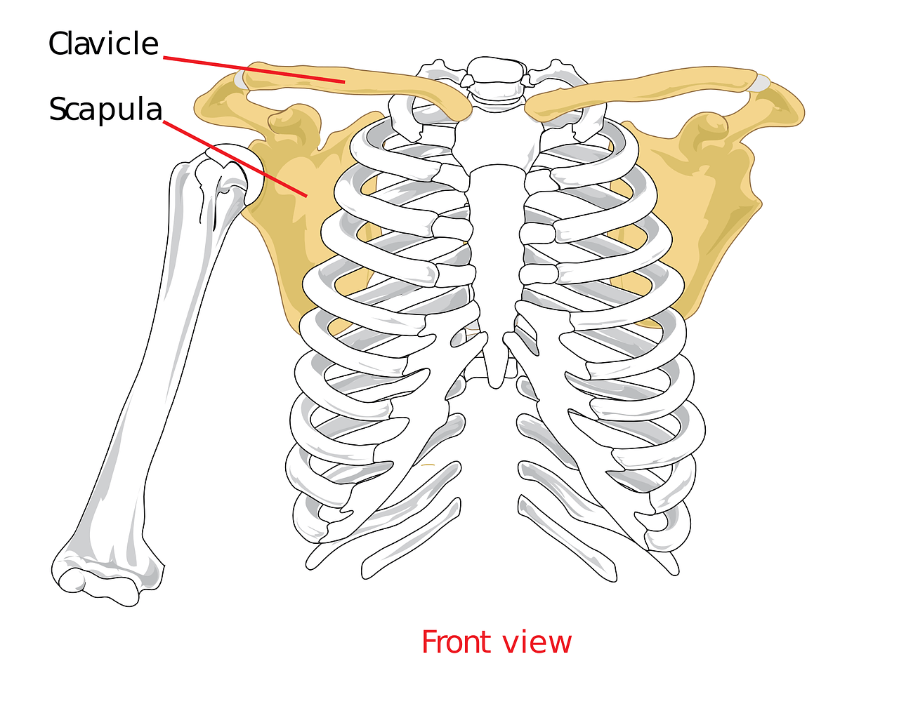 clavical-41577_1280