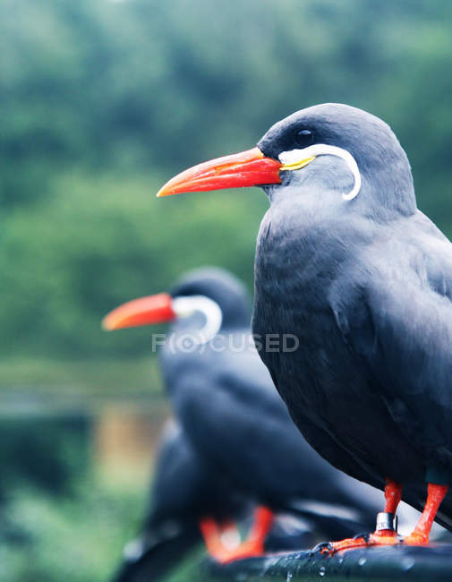 Side view of inca tern birds in a row on fence     Stock Photo     Side view of inca tern birds in a row on fence     Stock Photo