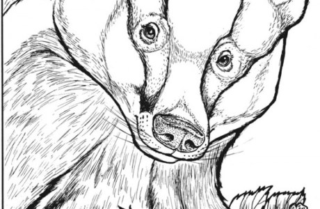 Freebie: Badger Coloring Page