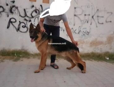 chien berger allemand 1 ans race pure