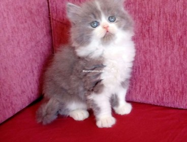 0 DT À vendre chaton persan  Publié: 5 avril 2020