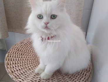 Chat  Persan race pure