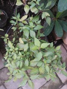 Organice garden grown herbs