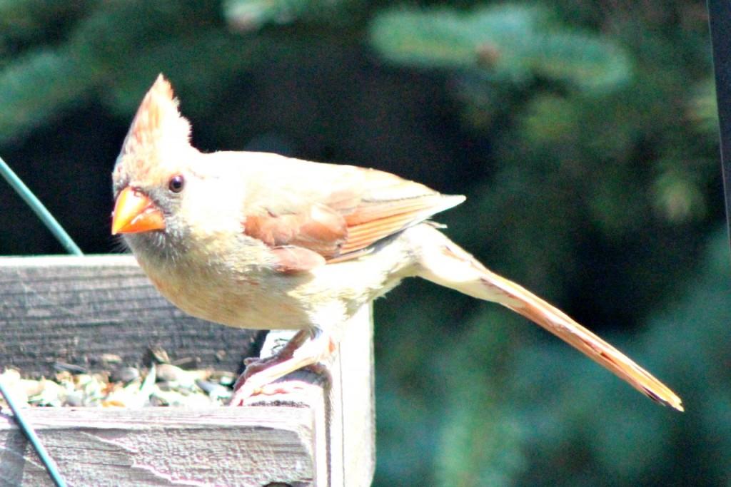 Faded cardinal