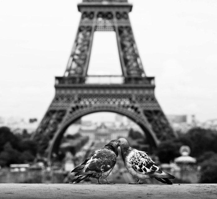 Gołębie w Paryżu