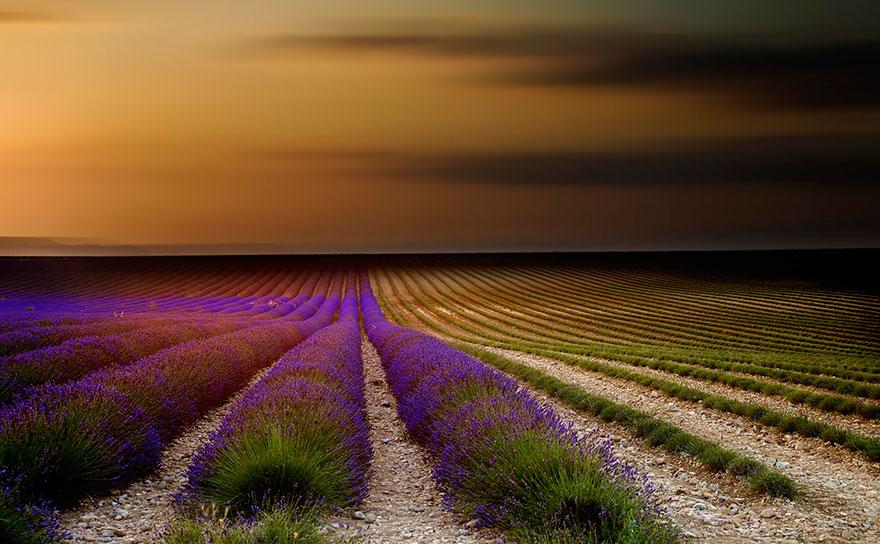 lavender-fields-harvesting-7