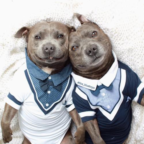 Medium Crop Of Cute Pitbull Puppies