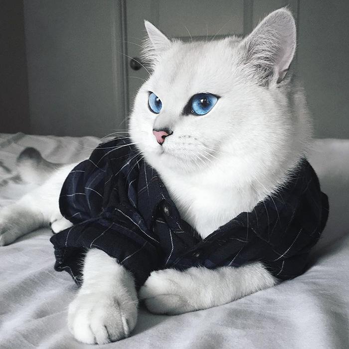 najbardziej piękne-eyes-cat-COBY-brytyjsko-krótkowłosy-13