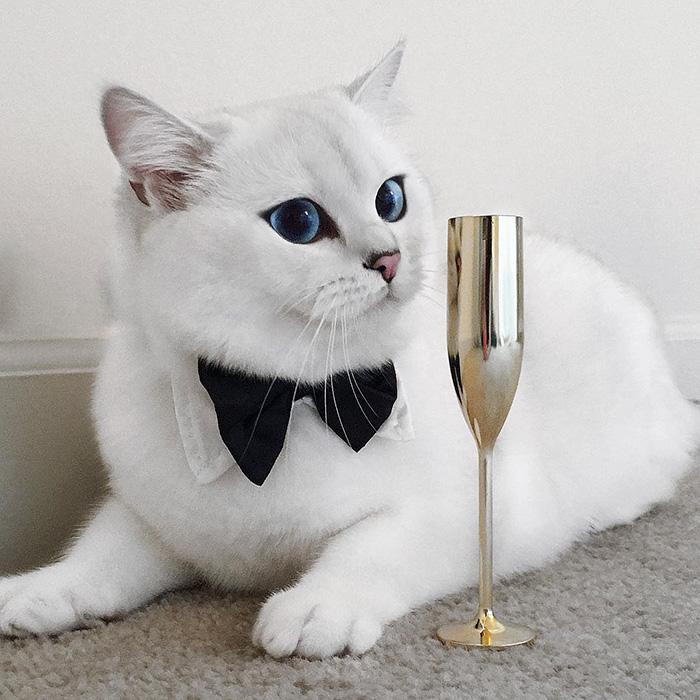 najbardziej piękne-eyes-cat-COBY-brytyjsko-krótkowłosy-26