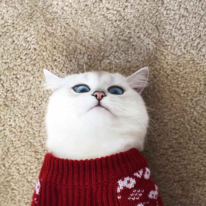 najbardziej piękne-eyes-cat-COBY-brytyjsko-krótkowłosy-31