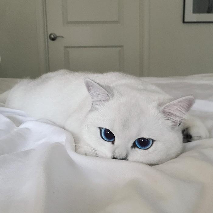 najbardziej piękne-eyes-cat-COBY-brytyjsko-krótkowłosy-32