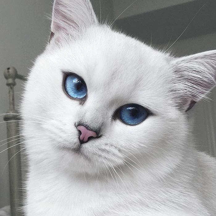 najbardziej piękne-eyes-cat-COBY-brytyjsko-krótkowłosy-45