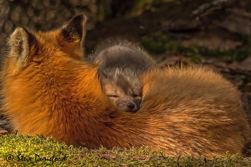 Fotografie di cuccioli di volpe troppo carini per essere veri