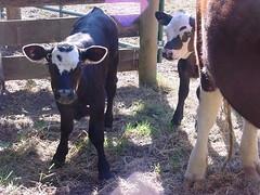 Leaping Lamb Farm 8-06 (calves, flowers) 008
