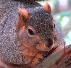 Berkeley Squirrel