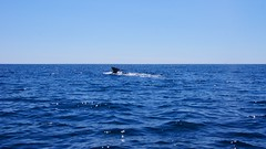 Humpback whale diving deep for food