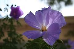 purple hybiscus, double