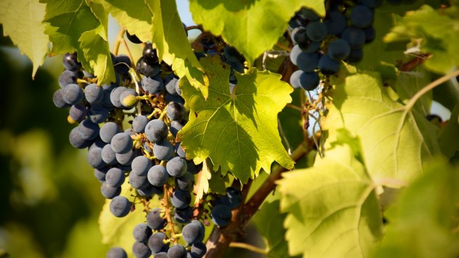 Grapes at Bully Hill Vineyards