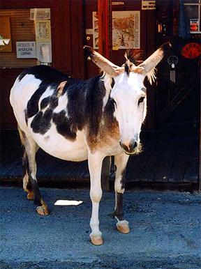 Oatman burros