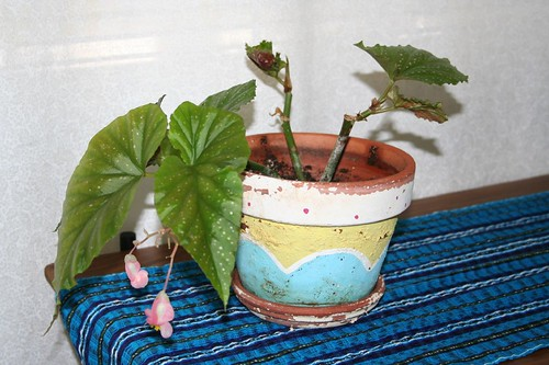 The begonia, planted
