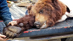 Grizzly bear that was just shot