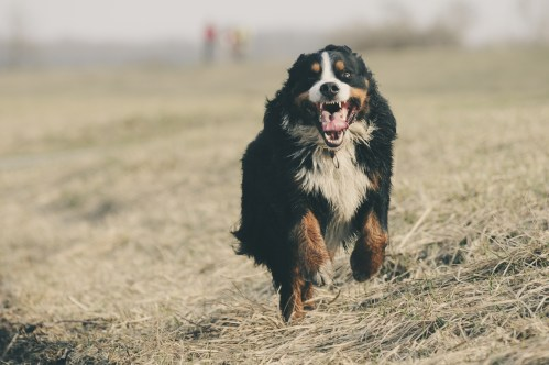 Medium Of Working Dog Breeds