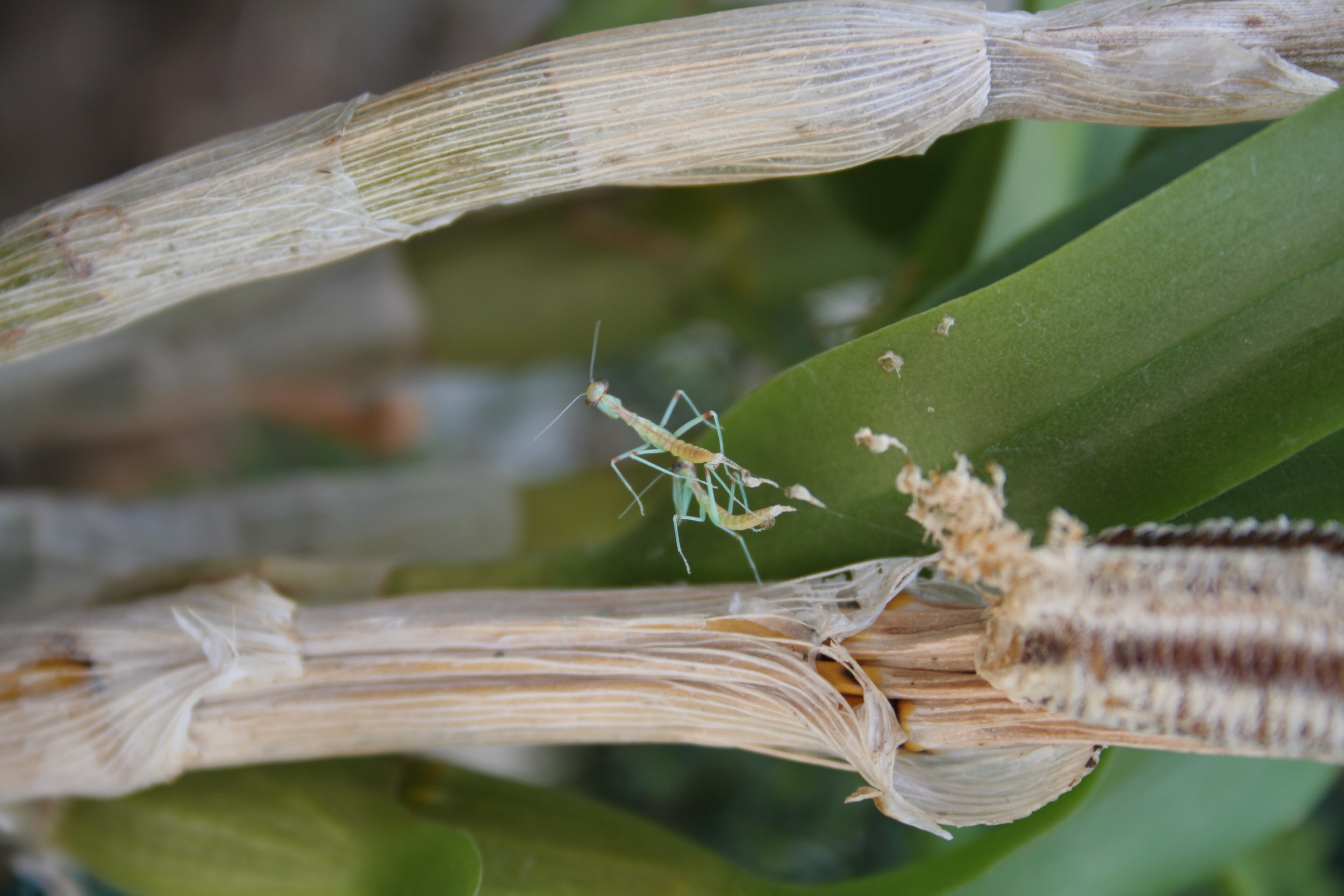 Graceful Sale Egg Sac Charles Praying Meaning Hatching Preying Mantis Repel Out Life Green Praying Mantis Egg Sac Gestation Period Praying Mantis Egg Sack houzz 01 Praying Mantis Egg Sack