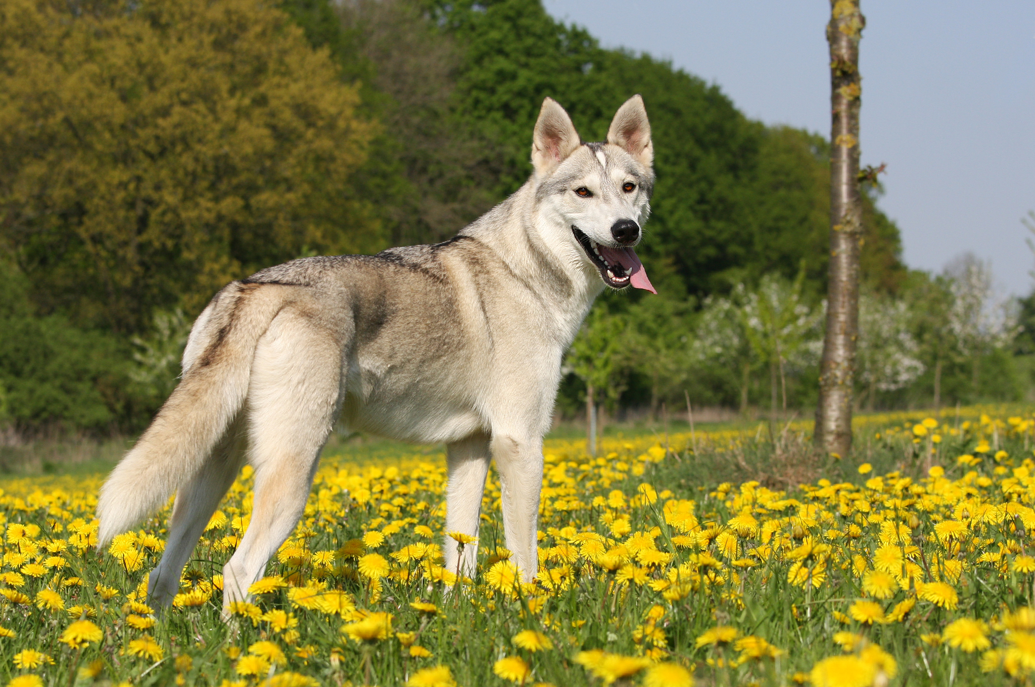 Fullsize Of Dogs That Look Like Wolves