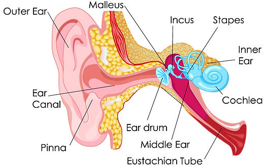 The little hairs inside your ear vibrate when they hear sound 3