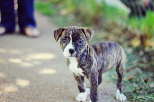 Impressive How To Train Your Pit Bull How To Train Your Pit Bull Training Pitbull Puppies Blue S Pitbull Puppy Gif
