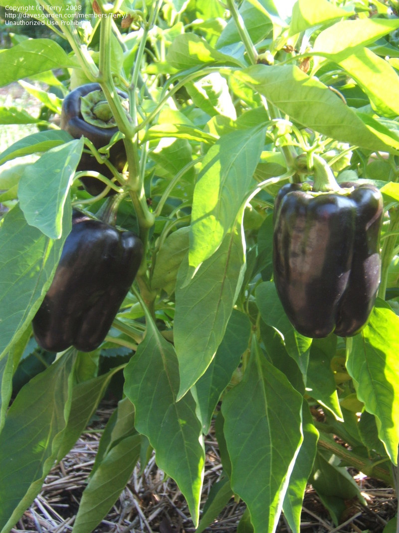 Voguish Purple Beauty Bell Pepper Plant Edible Walls Purple Beauty Bell Pepper Garden Purple Bell Pepper Benefits Purple Bell Pepper Varieties houzz-03 Purple Bell Pepper