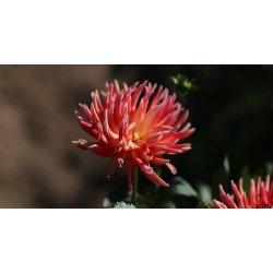 Small Crop Of Swan Island Dahlias