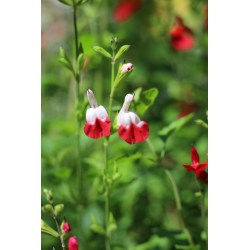 Small Crop Of Salvia Hot Lips