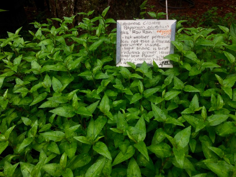 Large Of Is Basil A Perennial