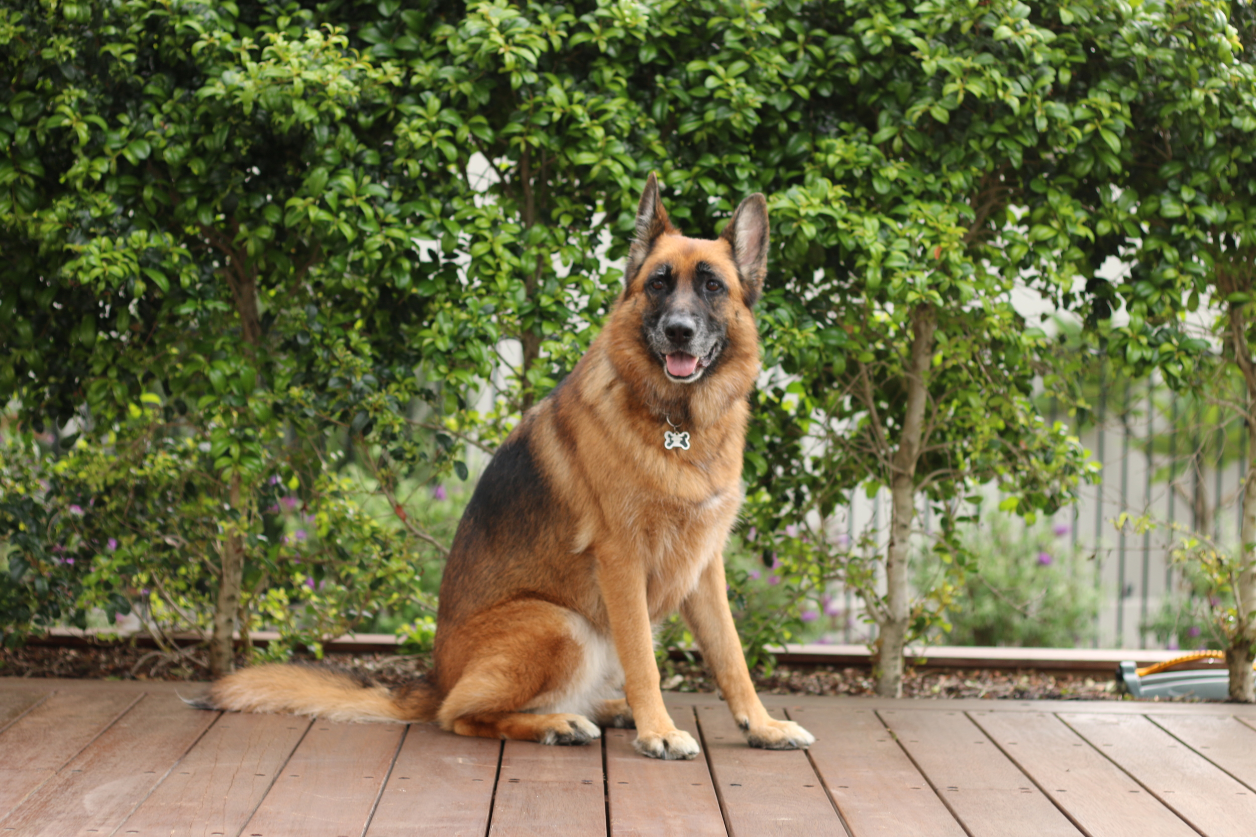 Top Aimsway German Shepherd Female Dogs Aimsway German Shepherd Females Aimsway German Shepherd Dog Kids Kids Are German Shepherds Good Cats Are German Shepherds Good bark post Are German Shepherds Good With Kids