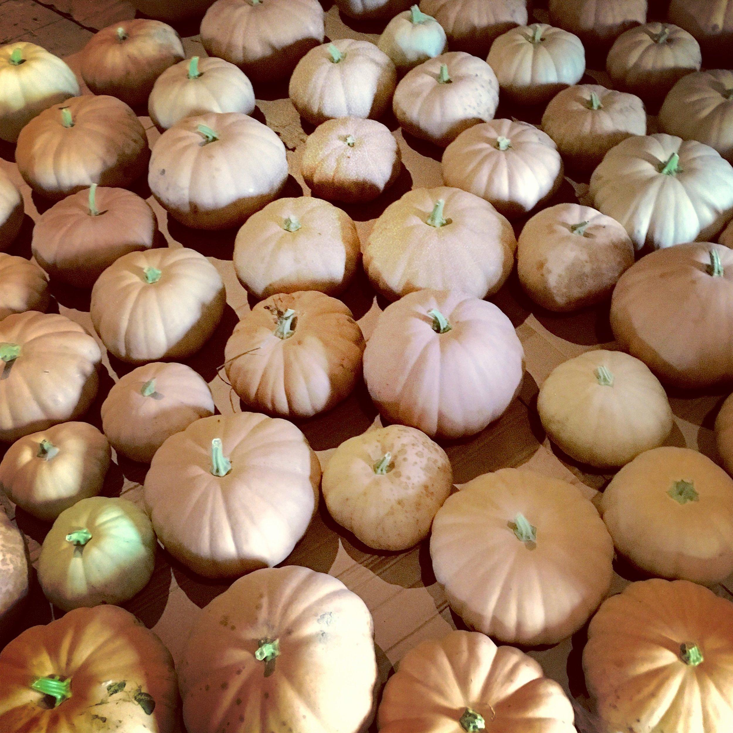 Fullsize Of Long Island Cheese Pumpkin