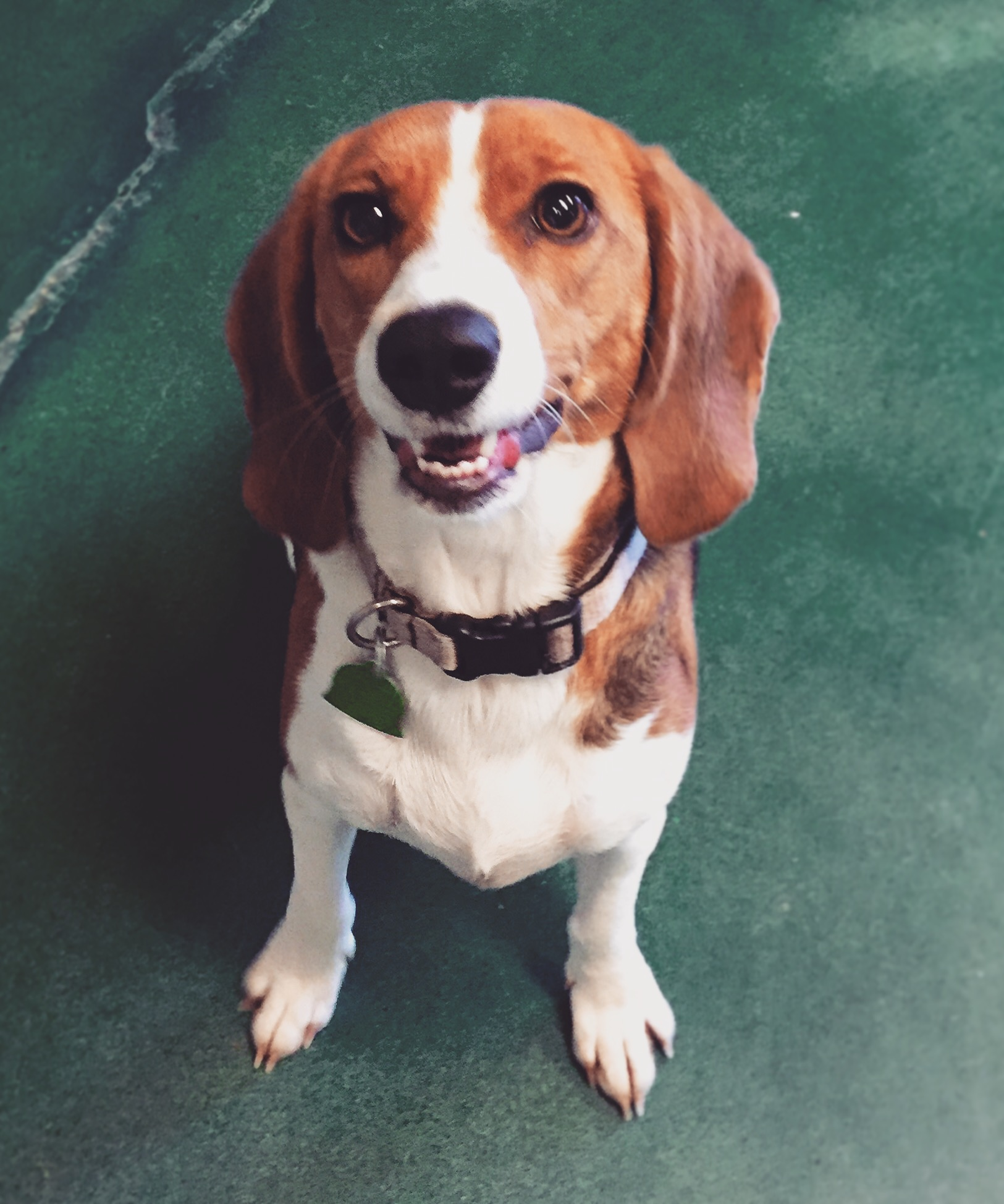 Fullsize Of Do Beagles Shed
