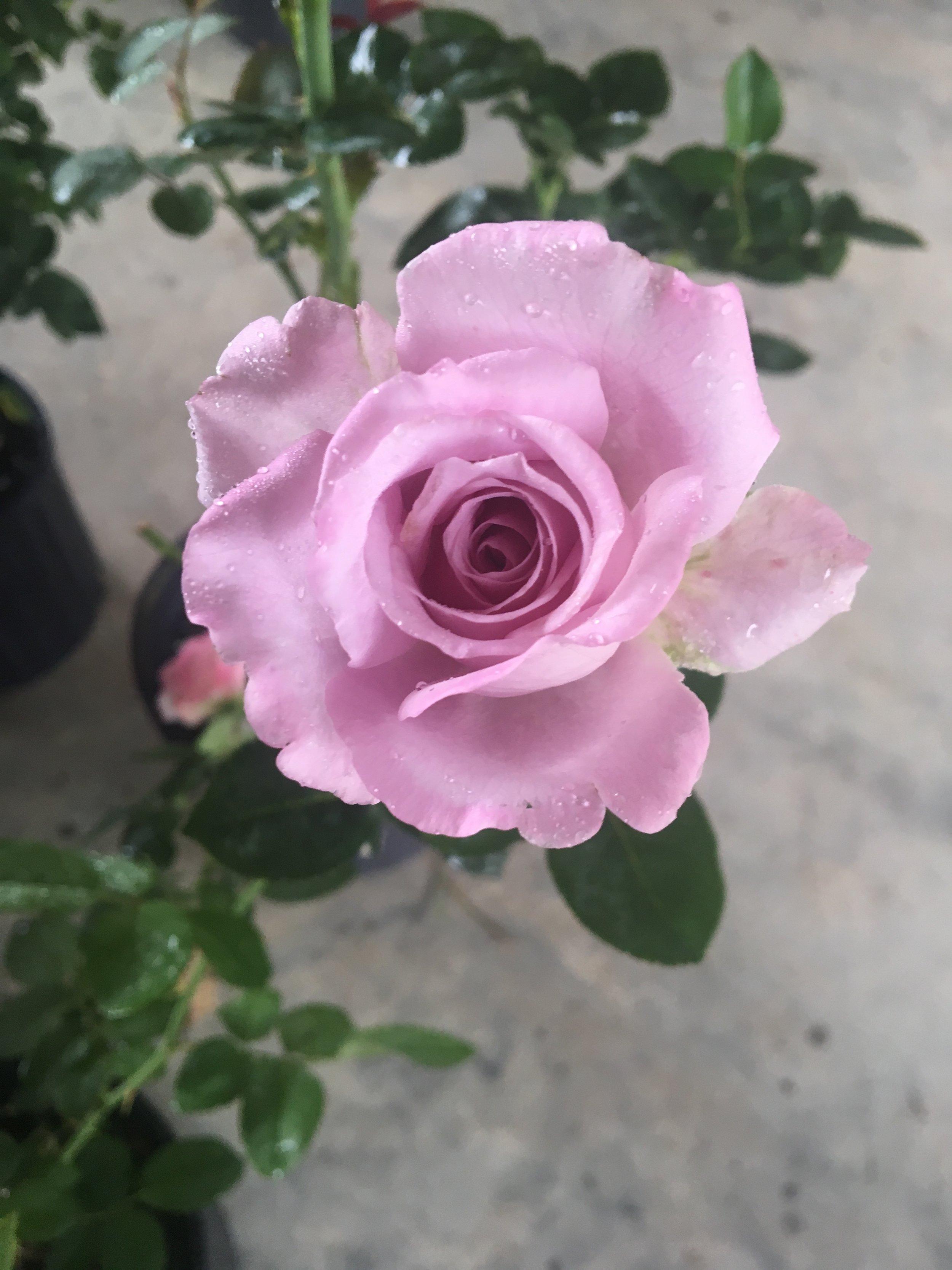 Phantasy M Nursery Blue Girl Roses Blue Girl Rose Gardenweb Blue Girl Or Hybrid Teas K houzz-03 Blue Girl Rose