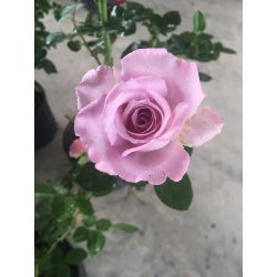 Small Crop Of Blue Girl Rose