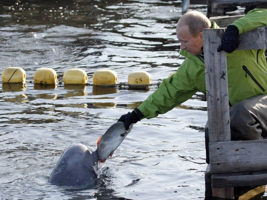 He also has found ways to help scientists tag creatures without shooting them. Here he feeds a Beluga whale named Dasha.