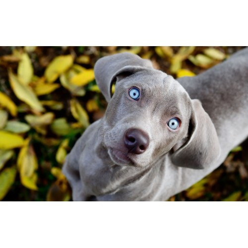 Medium Crop Of Blue Eyed Dogs