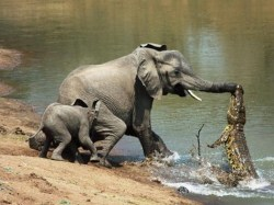Gambar unik gajah vs buaya