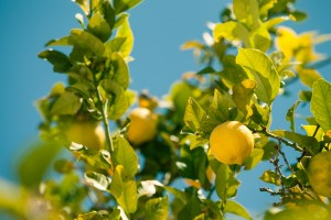 Closeup of lemon tree over blue sky in Spain.