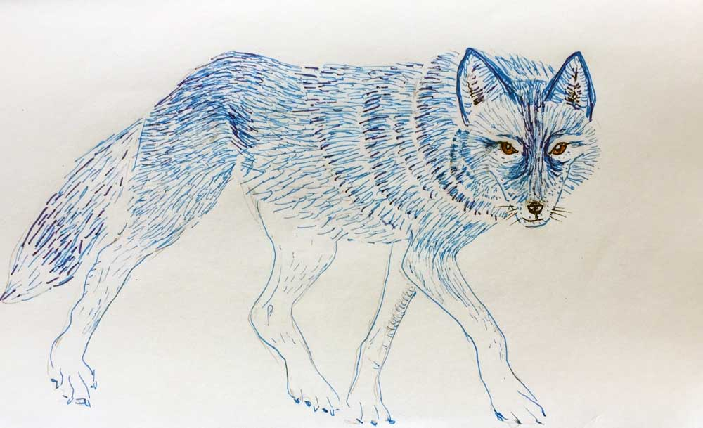 Blue Coyote Study, a sketch by Stephanie Thomas Berry