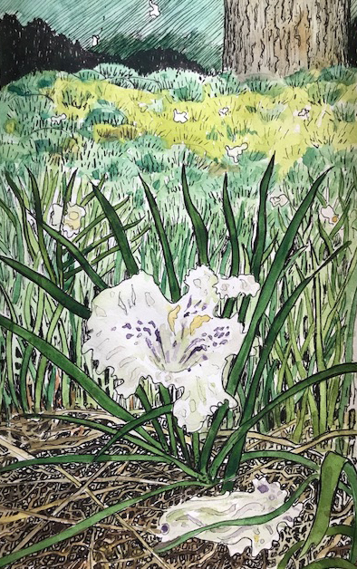Fallen Catalpa Flower, micron pen and watercolor by Stephanie Thomas Berry