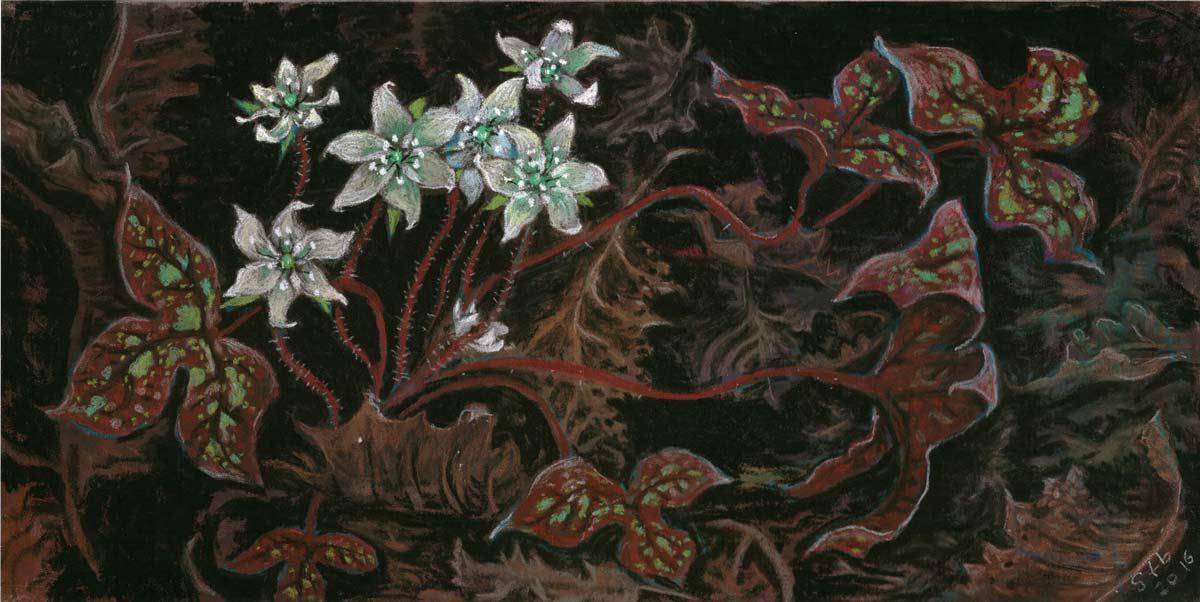 Hepatica, a pastel by Stephanie Thomas Berry