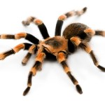 Clear photo of adult Mexican Red Knee from www.tarantulaguide.com