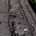 Bear Tracks...on Grey Mountain